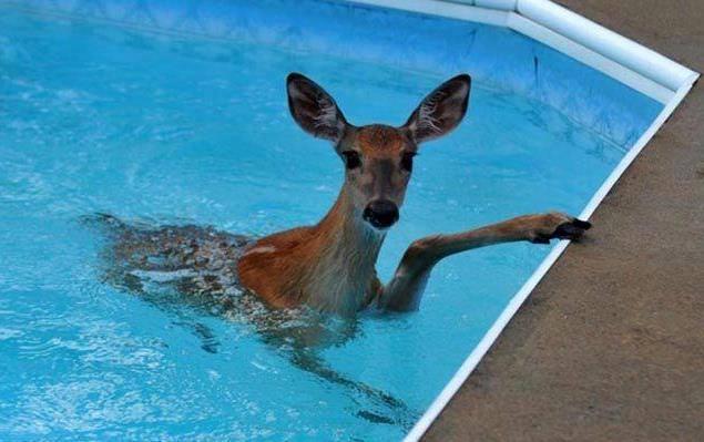 semaine-5-biche-dans-la-piscine