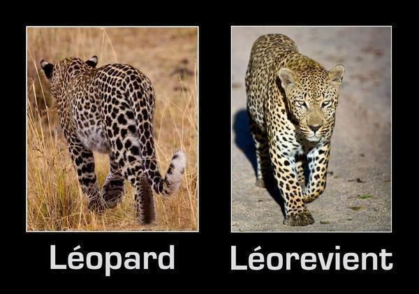 leopard-et-leorevient