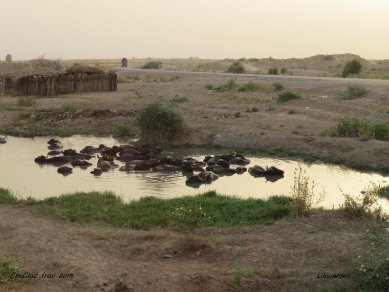 16 - Cliclac tortue Iran Les boeufs dans l'eau