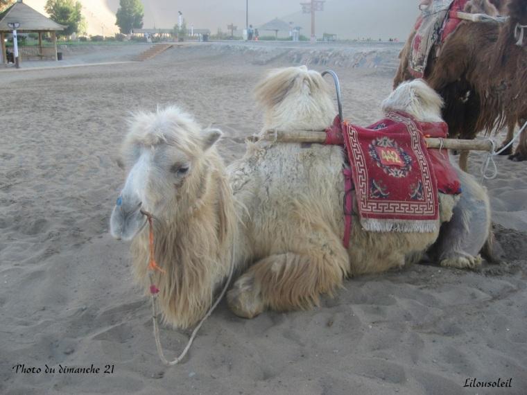 21 - Photo du dimache - le chameau
