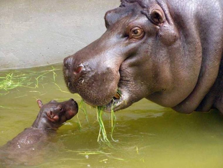 29 - bébé animaux hippopotame
