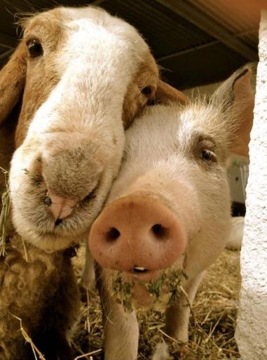 chien et cochon