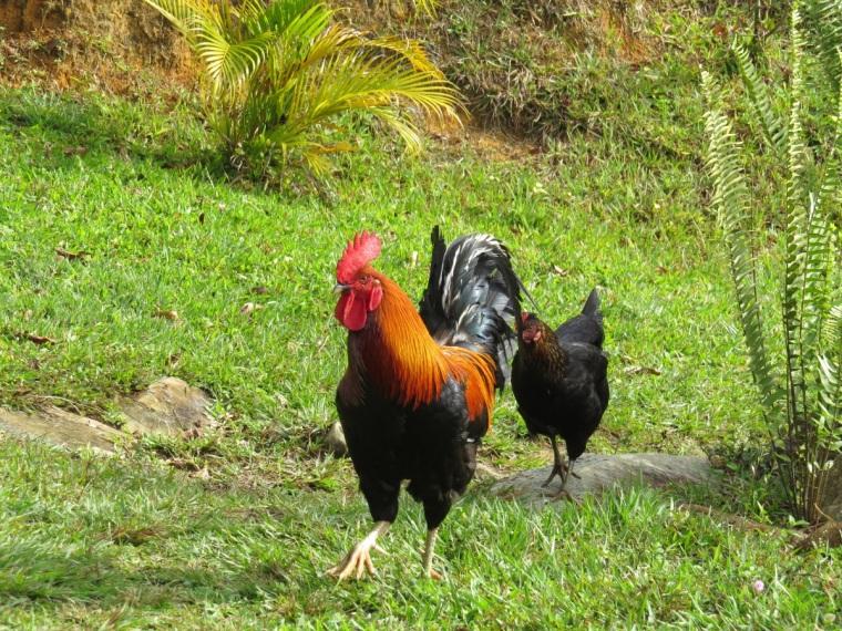 mars coq et poule de cuba